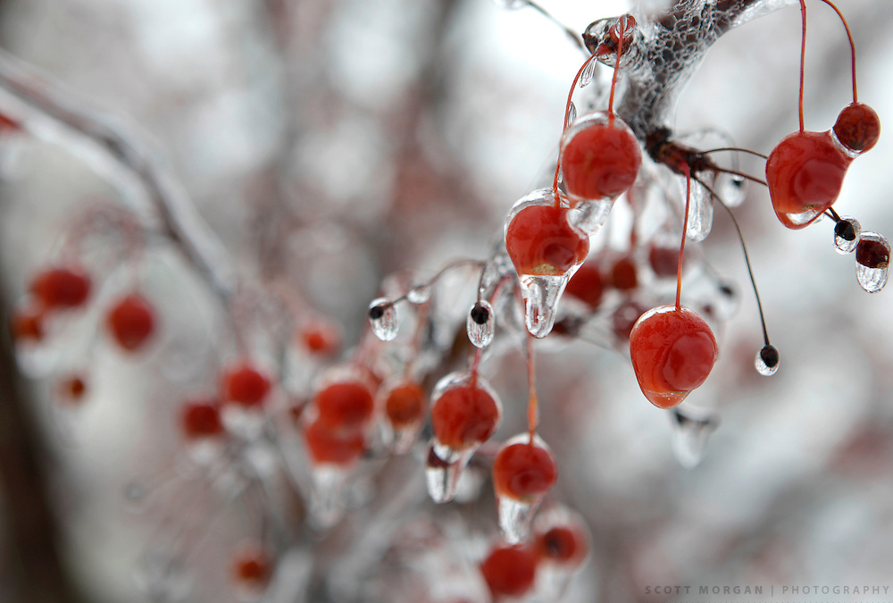 Frost berries Thursday, Dec. 24, 2009, in Cherry Valley, Illinois..Photo by Scott Morgan 2009