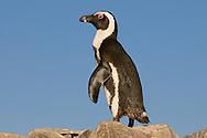 African penguin, Spheniscus demersus, Halifax Island, Namibia
