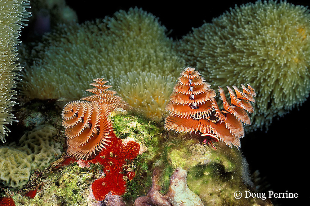 Christmas tree worms, or serpulid tube worms, Spirobranchus giganteus, The Garden, St. Vincent, Saint Vincent and the Grenadines, West Indies ( Eastern Caribbean Sea )
