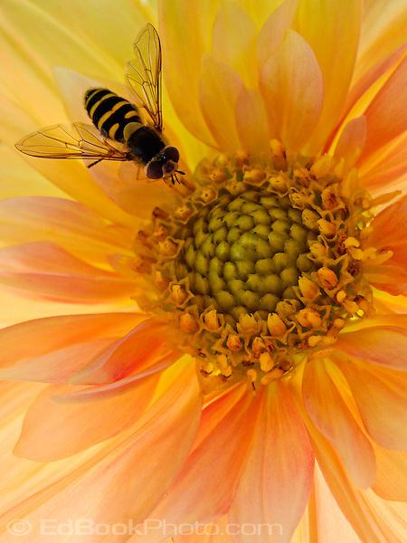macro of a bee on a miniature dahlia