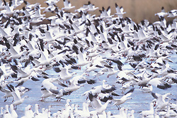 snow geese; Chen caerulescens caerulescens; water; bosque new mexico, blast off