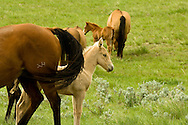 Quarter Horses, mare and foals, foal hides behind mother<br /> PROPERTY RELEASED