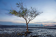 Replanted mangroves grow on the beach in a town not far from Banda Aceh on November 24, 2014 in Lampuuk, Indonesia. The international community has been helping since the 2004 tsunami to help plant a green buffer zone to help slow waves from the Indian Ocean. Ann Hermes/© The Christian Science Monitor 2014