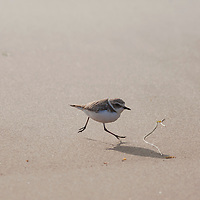 Real Snowy Plovers