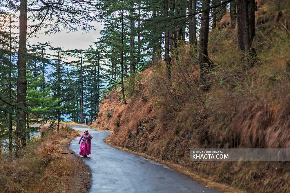 A lady walks up the road through a pine forest near Kotgarh in Shimla, Himachal Pradesh, India