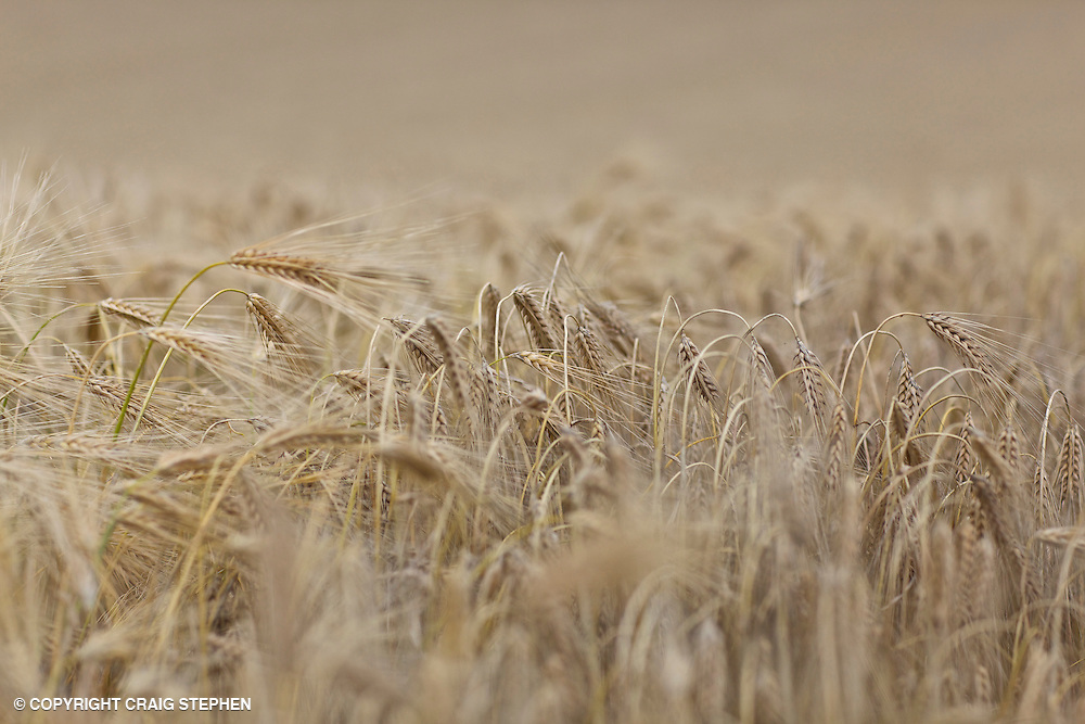 Shallow depth of field photo of barley in Perthshire, Scotland