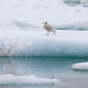 A juvenile glaucous gull (Larus hyperboreus) rests on an iceberg in Jökulsárlón, Iceland's Glacier Lagoon. The glaucous gull is one of the largest gulls with a typical wingspan of 60 inches (1.5 meters).