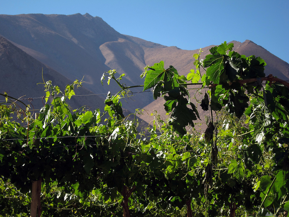 Vines in the Elqui Valley, in the small town of Pisco Elqui, in Chile's Coquimbo Region. Most of the grapes are for export, but some are used for Pisco and wine