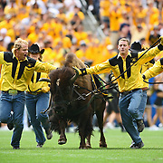 """SHOT 9/1/2007 - University of Colorado students run """"Ralphie"""", the school's mascot, onto the field at the start of the second half against Colorado State during the Rocky Mountain Showdown Saturday September 1, 2007 at Invesco Field in Denver, Co. The University of Colorado won the Centennial Cup with a 31-28 overtime victory in the game. Colorado and Colorado State have met 78 times in their histories, but the first 69 took place on their respective campuses. The Colorado Buffaloes are in the Big 12 Conference, while the Colorado State Rams compete in the Mountain West Conference..(Photo by Marc Piscotty © 2007)"""
