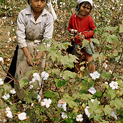 Young woman and girl picking cotton in valley of Chira River in northern Peru.