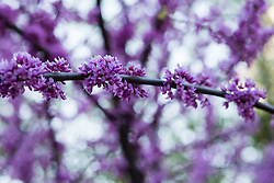 beautiful purple flowers on a tree branch in the woods
