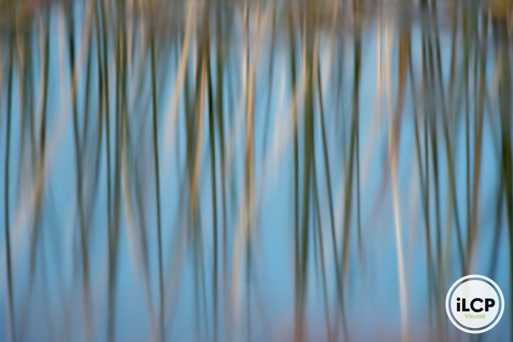 Marsh grasses reflected in still pond.