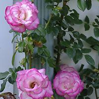 Pink Edged Climbing Rose