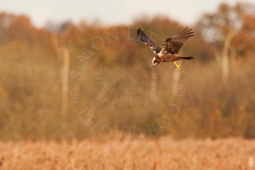 Marsh Harrier (Circus aeruginosus) adult female hunting over reedbed, Norfolk, UK..
