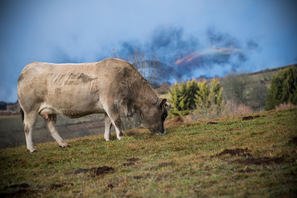 23/12/16 - BADAILHAC - CANTAL - FRANCE - Vache Aubrac sur les estives du Cantal - Photo Jerome CHABANNE