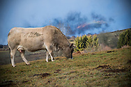 23/12/16 - BADAILHAC - CANTAL - FRANCE - Vache Aubrac sur les estives du Cantal - Photo Jerome CHABANNE