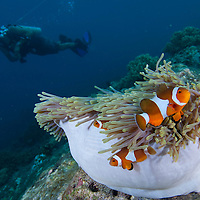 False Clown Anemonefish, Amphiprion ocellaris, in an anemone, with a diver swimming behind, Pulau Tenggol, Malaysia.