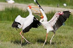 The Yellow-billed Stork, Mycteria ibis, is a large wading bird in the stork family Ciconiidae. Generally prefers larger bodies of water, like lake Nakuru. / Cegonhas no Lago Nakuru, no Quenia. As cegonhas (Ciconia spp.) sao aves migrantes da familia Ciconiidae. , is a large wading bird in the stork family Ciconiidae. Generally prefers larger bodies of water, like lake Nakuru. / Cegonhas no Lago Nakuru, no Quenia. As cegonhas (Ciconia spp.) sao aves migrantes da familia Ciconiidae.