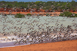 A flock of migratory shore birds rise at Crab Creek, south of Broome, near the Broome Bird Observatory.  Crab Creek is on the shores of Roebuck Bay, one of the world's great bird aggregation areas.
