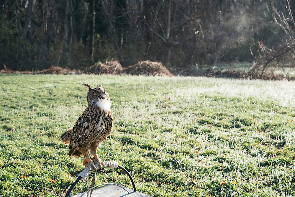 Hoots, a Eurasian eagle owl, sits on his hoop.