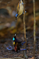 Wilson's Bird of Paradise.(Cicinnurus respublica) male displays to female from a small sapling in the middle of his display court.