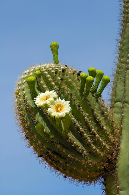 Saguaro cactus in bloom.