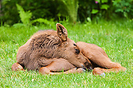 Less than a month old, a newborn moose calf sleeps in the relative safety of a residential backyard in Eagle River in Southcentral Alaska.  Spring. Morning.