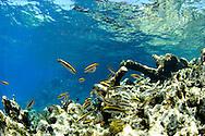 Coral reef and fish at the Polisini Greek Wreck  (Kinsei Maru), Silver Banks Marine Sanctuary, Dominican Republic, Caribbean Sea