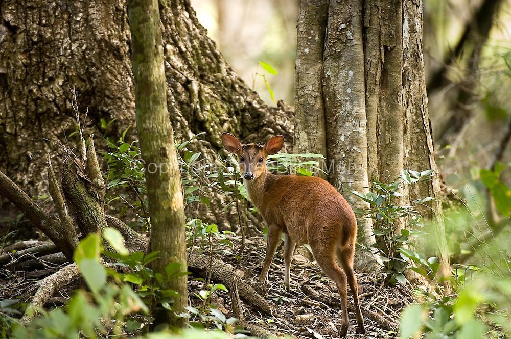 Barking deer,Wilpattu national park.