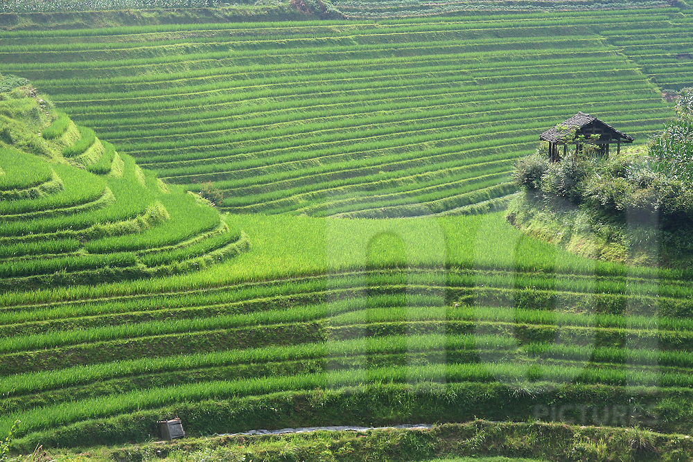 Small wooden shack clings to a hillside covered in lush green terraced rice fields, Ping'an, Guangxi, China, Asia