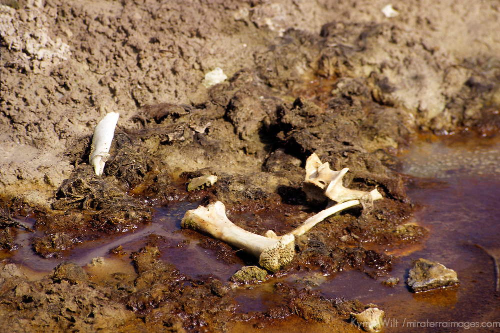 North America, USA, United States, Wyoming, Yellowstone National Park. Bones in lower geyser basin.