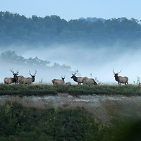 September 18, 2009. Hindman, Kentucky. Bull elk forage on the grasses of Combs Branch reclaimed surface coal mine. (Credit image: © David Stephenson/ZUMA Press)