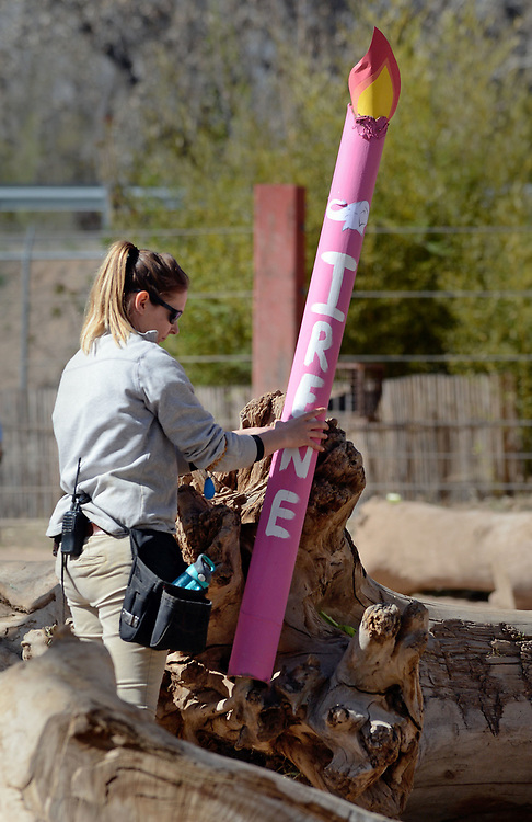 jt032517a/a sec/jim thompson/  Emma Wigdahl places a large paper candle with goodies inside in the elephant grounds for the birthday celebration for Irene's 50th birthday and the pregnancy announcement for Rozie. Friday March 24, 2017. (Jim Thompson/Albuquerque Journal)
