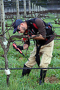 Patrick (from Italy) Pruning, Voyager Estate, Margaret River July 30 2015 - Photograph by David Dare Parker