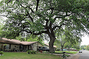 A huge old tree in a quiet neighbourhood in Round Rock, Texas