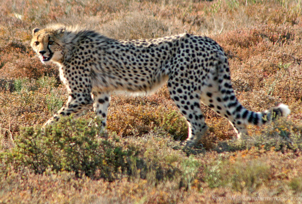 Africa, South Africa, Kwandwe. A young cheetah at home in the Kwandwe Game Reserve, South Africa.