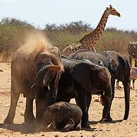 Africa, Namibia, Etosha. Elephants having dust bath at a water hole in Etosha National Park.
