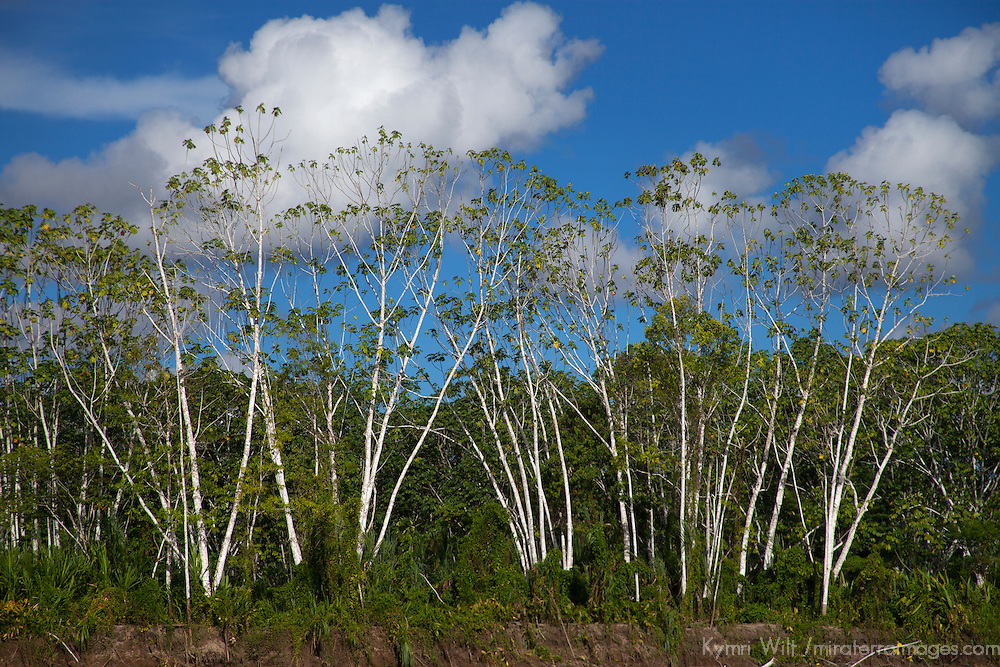 South America, Peru, Amazon. Trees of the Amazon.