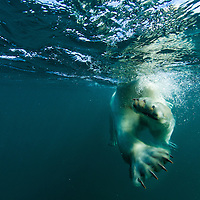 Canada, Nunavut Territory, Arviat, Underwater view of Polar Bear's paws and claws (Ursus maritimus) swimming near Sentry Island along Hudson Bay