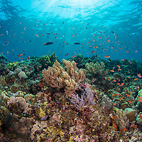 Healthy coral reef with fish and soft coral, Maumere, Flores, Indonesia.