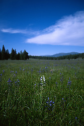 &quot;Camas Field&quot;- This field of Camas flowers contained one odd white Camas flower. It was photographed near Prosser Reservoir, CA.<br /> Photographed: May 2003