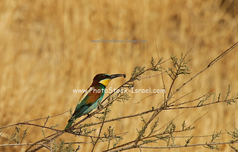 Israel, European Bee-eater, Merops apiaster Summer June 2008