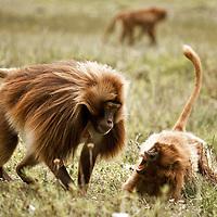 Geladas fighting on the Guassa Plateau of Ethiopia
