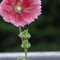 Huge pink hollyhock in full bloom