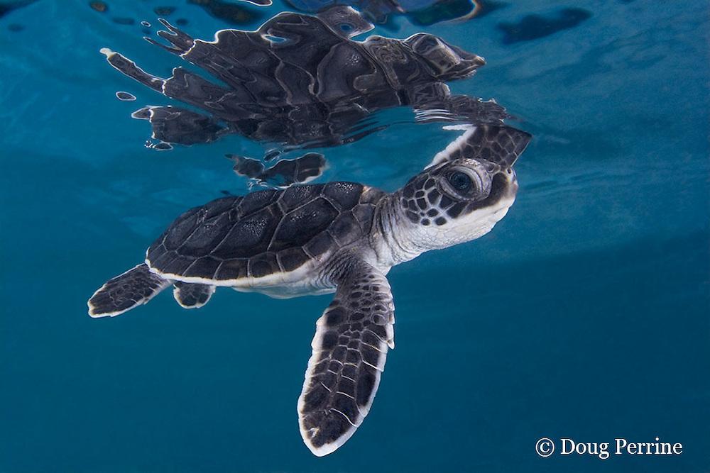 green sea turtle hatchling, Chelonia mydas (c), Endangered Species, Caribbean (dc)
