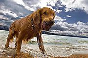 A golden retriever at Camp Winnaribbun, a  dog camp, in Lake Tahoe, California.