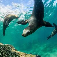 Mexico, Baja California Sur, Underwater view of California Sea Lions swimming in shallows near Los Islotes in Espiritu Santo Biosphere Reserve in Sea of Cortez