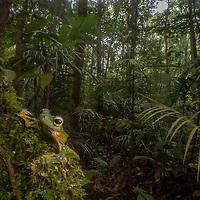 Wallace's Flying Frog, Rhacaphorus nigropalmatus, in the Borneo Highlands of Sarawak