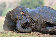 An African elephant rests on the ground after taking a long mud bath and swimming across the Chobe River, Chobe River, Kasane, Botswana.