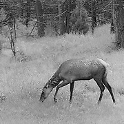 Young Elk Grazing - Lamar Valley - Yellowstone National Park - Infrared Black & White